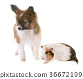 puppy pappillon dog and guinea pig 36672199