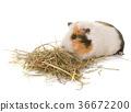guinea pig in studio 36672200