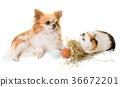 guinea pig and chihuahua 36672201