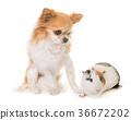 guinea pig and chihuahua 36672202