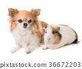 guinea pig and chihuahua 36672203