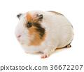guinea pig in studio 36672207