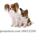 puppy and adult pappillon dog 36672209