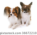 puppy and adult pappillon dog 36672210