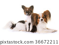 puppy and adult pappillon dog 36672211