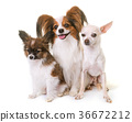 papillon dogs and chihuahua 36672212
