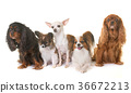 group of little dogs 36672213