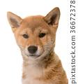 puppy dog shiba 36672378