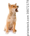 puppy dog shiba 36672379