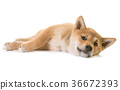 puppy dog shiba 36672393