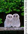 貓頭鷹 鳥兒 鳥 36678961
