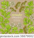 coriander vector frame 36679002