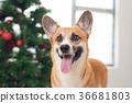 柯基 威爾士矮腳狗 聖誕節 36681803