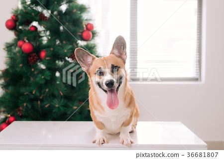 Pembroke corgi with a Christmas tree.Happy Holiday 36681807