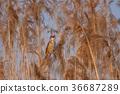 Great reed warbler, Acrocephalus arundinaceus. 36687289