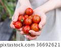 迷你番茄收穫(家庭花園) 36692621