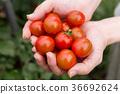 番茄 西紅柿 收穫 36692624