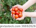 西紅柿 番茄 收穫 36692626
