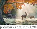 奈良梅花鹿公園 奈良公園 鹿 36693798