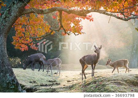 奈良公園的早晨 36693798