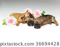 french, bulldog, pet 36694428
