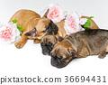 french, bulldog, pet 36694431