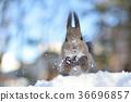 松鼠 日本北海道松鼠 松鼠常見的東 36696857