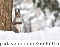 松鼠 北海道松鼠 日本北海道松鼠 36696916