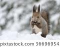 松鼠 日本北海道松鼠 松鼠常見的東 36696954