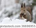 松鼠 日本北海道松鼠 松鼠常見的東 36696955
