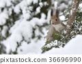 松鼠 北海道松鼠 日本北海道松鼠 36696990