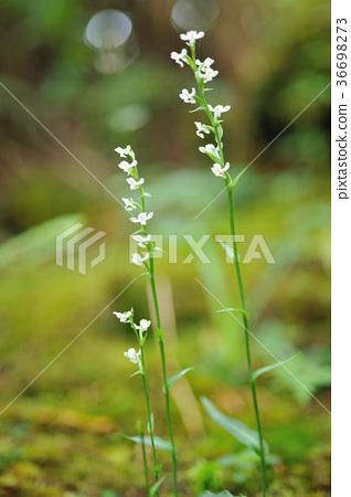 야생화, 흰 꽃, 꽃, 꽃잎, 벚꽃, 공장, 잎, 특별, 스페셜, 클로즈업 36698273