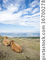 aso, cow, cattle 36700278