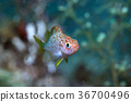 양볼락, 물고기, 바다속 36700496
