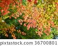 ต้นเมเปิล,ฤดูใบไม้ร่วง,ธรรมชาติ 36700801