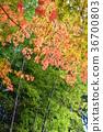 ต้นเมเปิล,ฤดูใบไม้ร่วง,ธรรมชาติ 36700803