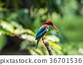 Bird (White-throated Kingfisher) in a nature wild 36701536