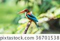 Bird (White-throated Kingfisher) in a nature wild 36701538