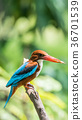 Bird (White-throated Kingfisher) in a nature wild 36701539