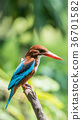 Bird (White-throated Kingfisher) in a nature wild 36701582