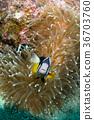 흰동가리, 말미잘, 바닷속 36703760