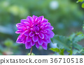 植物 植物學 植物的 36710518