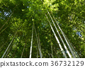 대나무, 죽림, 대나무숲 36732129