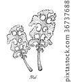 Hand Drawn of Kale Plant on White Background 36737688