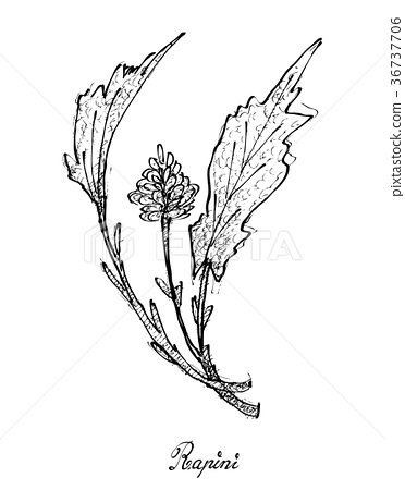Hand Drawn of Fresh Rapini on White Background 36737706