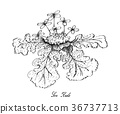 Hand Drawn of Sea Kale on White Background 36737713