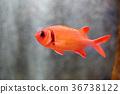 鹹水魚 海水魚 海魚 36738122