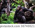 动物 猿人 大猩猩 36740021