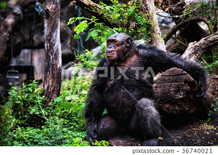 Portrait of big happy gorilla in forest 36740021