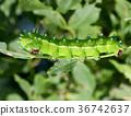 caterpillar, larva, worm 36742637